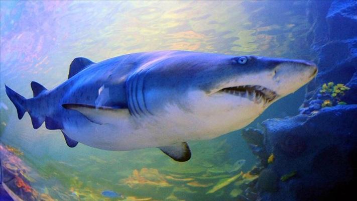 Denizlerin en tehlikeli yırtıcısı köpek balıklarının nesli tükenme tehdidi altında