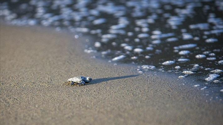 Korunan alanlarda 199 bin yavru kaplumbağa denizle buluştu