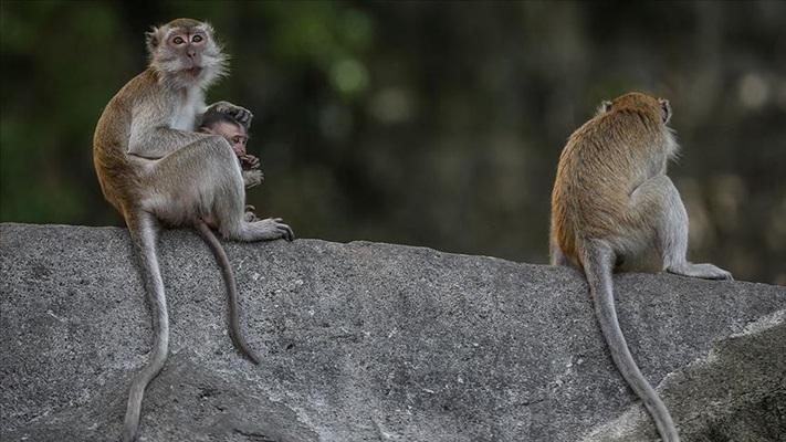 Sosyal mesafe maymunlarda da mikropların yayılmasını engellemede önemli