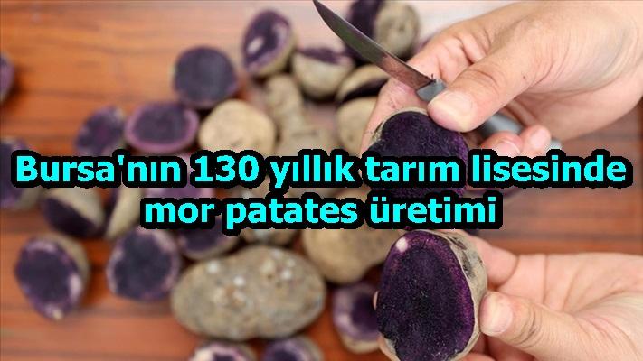 Bursa'nın 130 yıllık tarım lisesinde mor patates üretimi