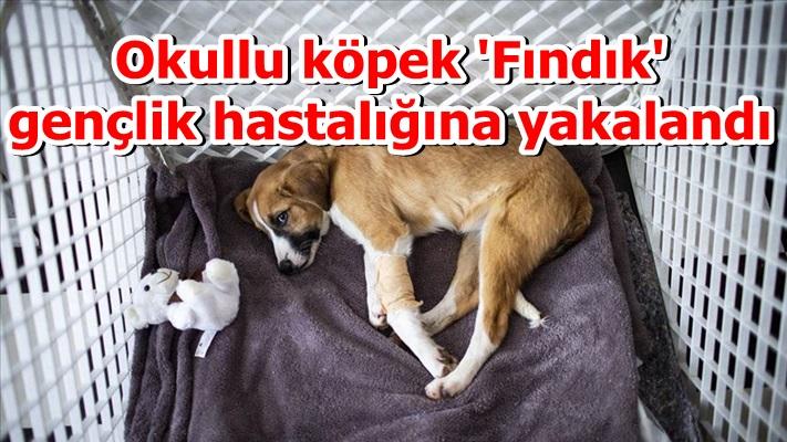 Okullu köpek 'Fındık' gençlik hastalığına yakalandı