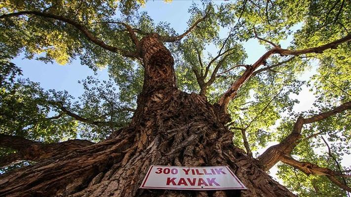 Yıllara meydan okuyan ağaçlar tescillenerek koruma altına alındı